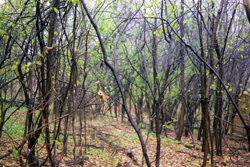 Buckthorn Thicket